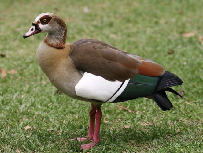 The Egyptian Goose